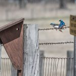 Bright blue barn swallows sit on the fence surrounding the bison pasture. Photo: Elliott McCrory, nature, wildlife, animal, bird, barn swallow