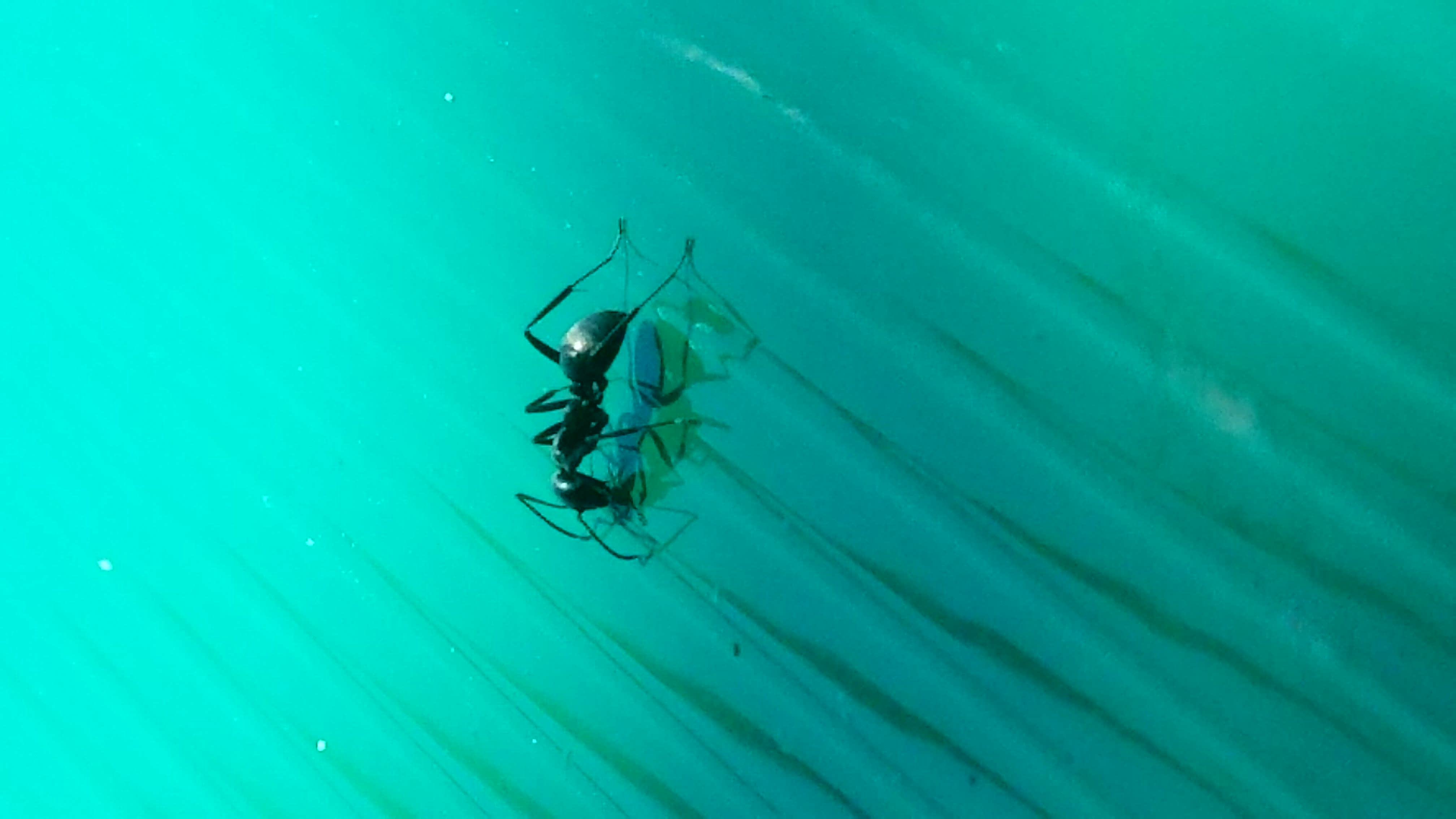 An ant reflects in the pond by the Wilson Hall. Photo: Judy Nunez, nature, wildlife, animal, insect, bug, ant