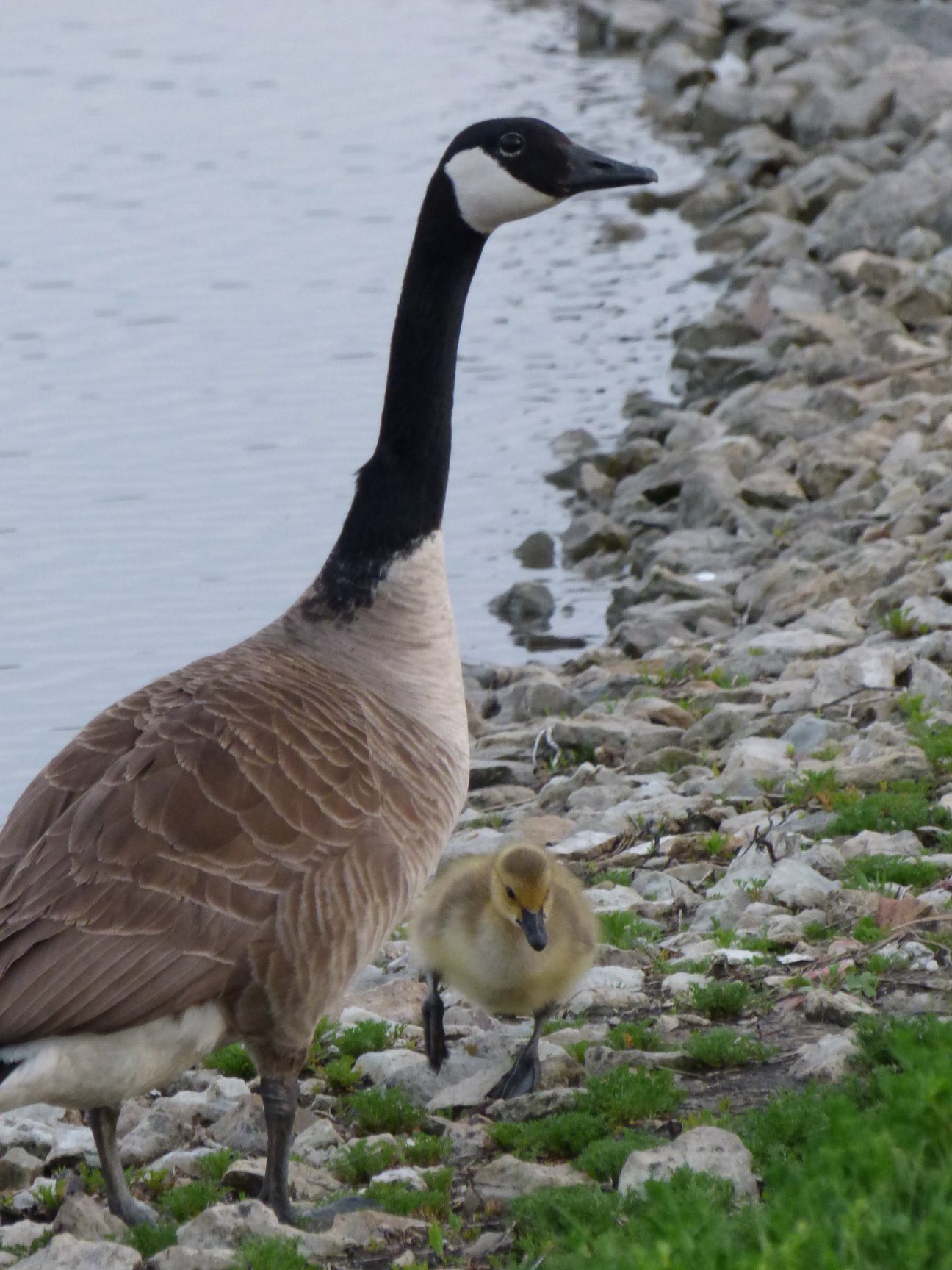 (4/4) Mother and child go out for a waddle. Photo: Amy Scroggins, nature, wildlife, animal, bird, goose, spring