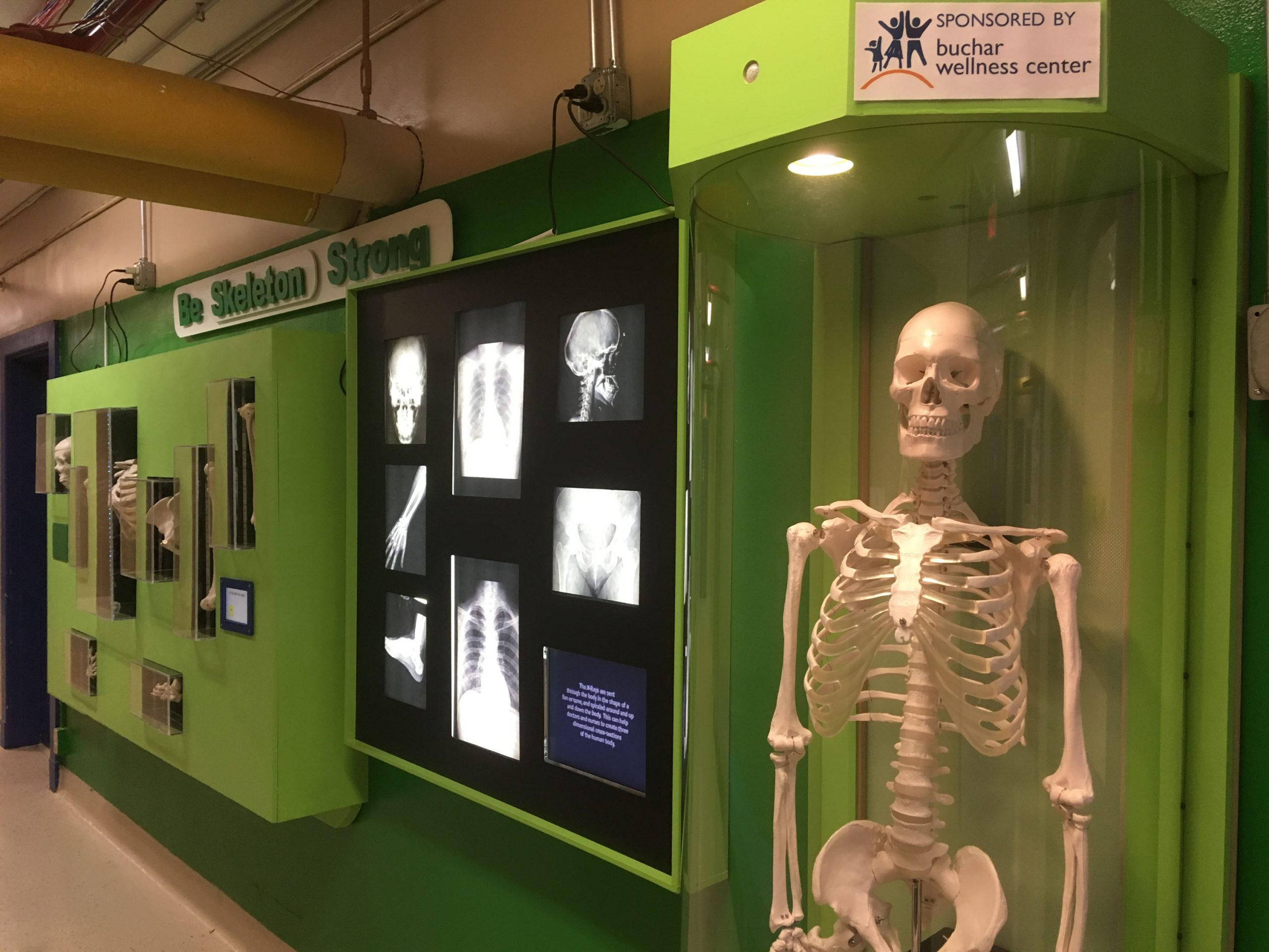 "Human skeleton is part of an exhibit titled ""Skeleton Strong"" at SciTech. Photo: SciTech Museum"