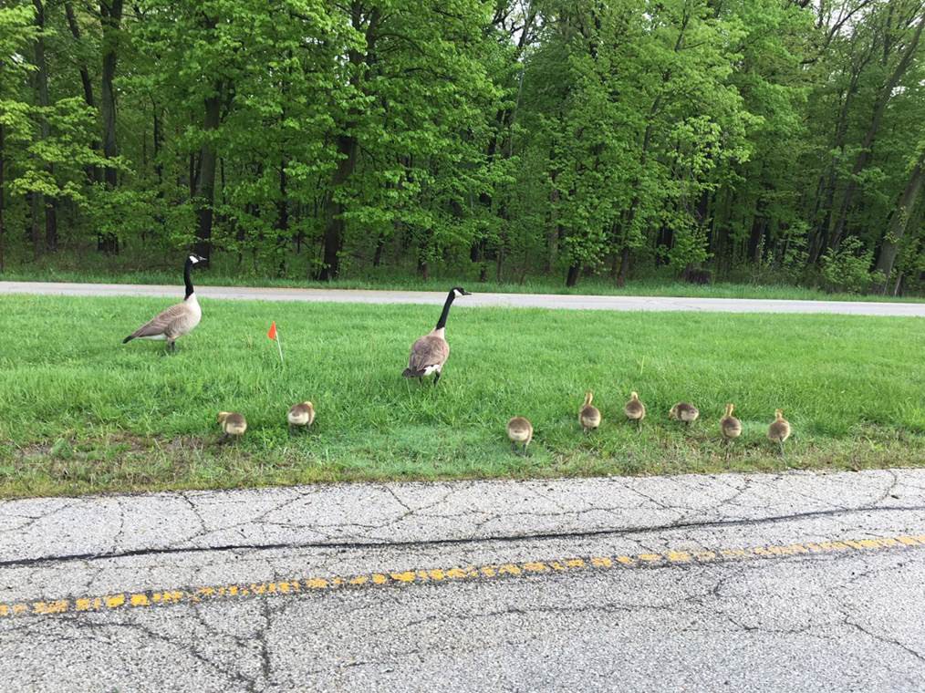 On May 15, goose and goslings cross Pine Street. Photo: Katee Peters, nature, widllife, animal, bird, goose, spring