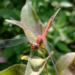 (1/2) This large dragonfly was spotted by Swan Lake. Photo: Charles Kerby, nature, wildlife, animal, insect, dragonfly