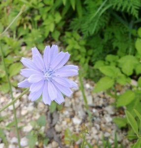 A lone, vibrant chicory flower (Cichorium intybus) sprouts from the gravel road in the Main Ring. The flower was originally native to Europe, but we're not complaining they found their way to Fermilab. nature, flower, plant, chicory Photo: Charles Kerby