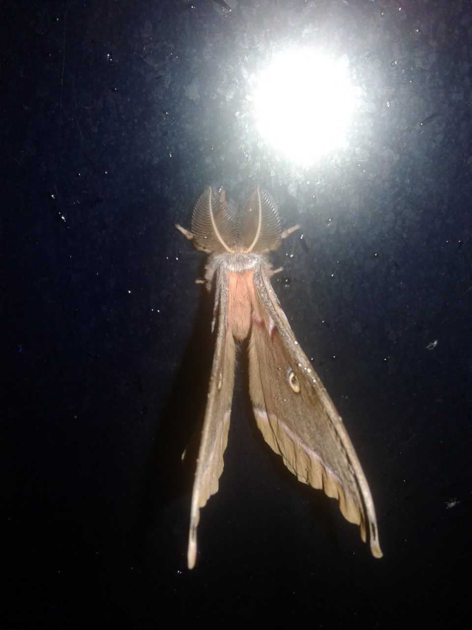 (1/2) A moth is seen on a dark night ... Photo: Adrian Marquez, nature, wildlife, animal, insect, moth