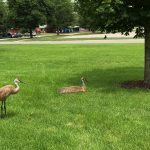 (2/2) They seem to be right at home. Photo: Kerry Aschenbach, nature, wildlife, animal, bird, sandhill crane