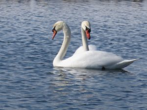 Two swans float in February Fermilab waters. nature, wildlife, animal, bird, swan Photo: Barb Kristen