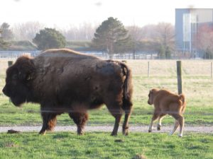 A baby bison frolics in the pasture in late April. Photo: Barb Kristen, nature, wildlife, animal, mammal, bison, spring