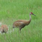 (1/2) Sandhill cranes enjoy the Village pond in May. nature, wildlife, bird, sandhill crane, animal Photo: Barb Kristen