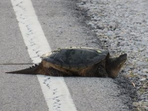 A snapping turtle makes its way off the road near the ponds by the east gate. nature, wildlife, animal, reptile, turtle, snapping turtle Photo: Barb Kristen