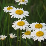 Daisies grow on the Fermilab prairie. nature, plant, flower, daisy Photo: Barb Kristen