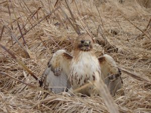 Throwback to a few years ago: At the Fermilab rail head, a red-tailed hawk was found by Tom Miller suffering from a bad wing, rendering it unable to fly. Jim Kalina took the hawk to the vet for help with its injuries. nature, wildlife, animal, bird, hawk, red-tailed hawk Photo: Byron Wagner