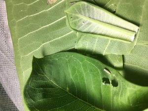 Visible in the photo are eggs, caterpillars and a hatching egg. Photo: Jessica Jensen