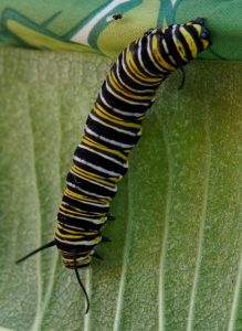 A hungry, hungry monarch caterpillar munches on a leaf. Photo: Marguerite Tonjes