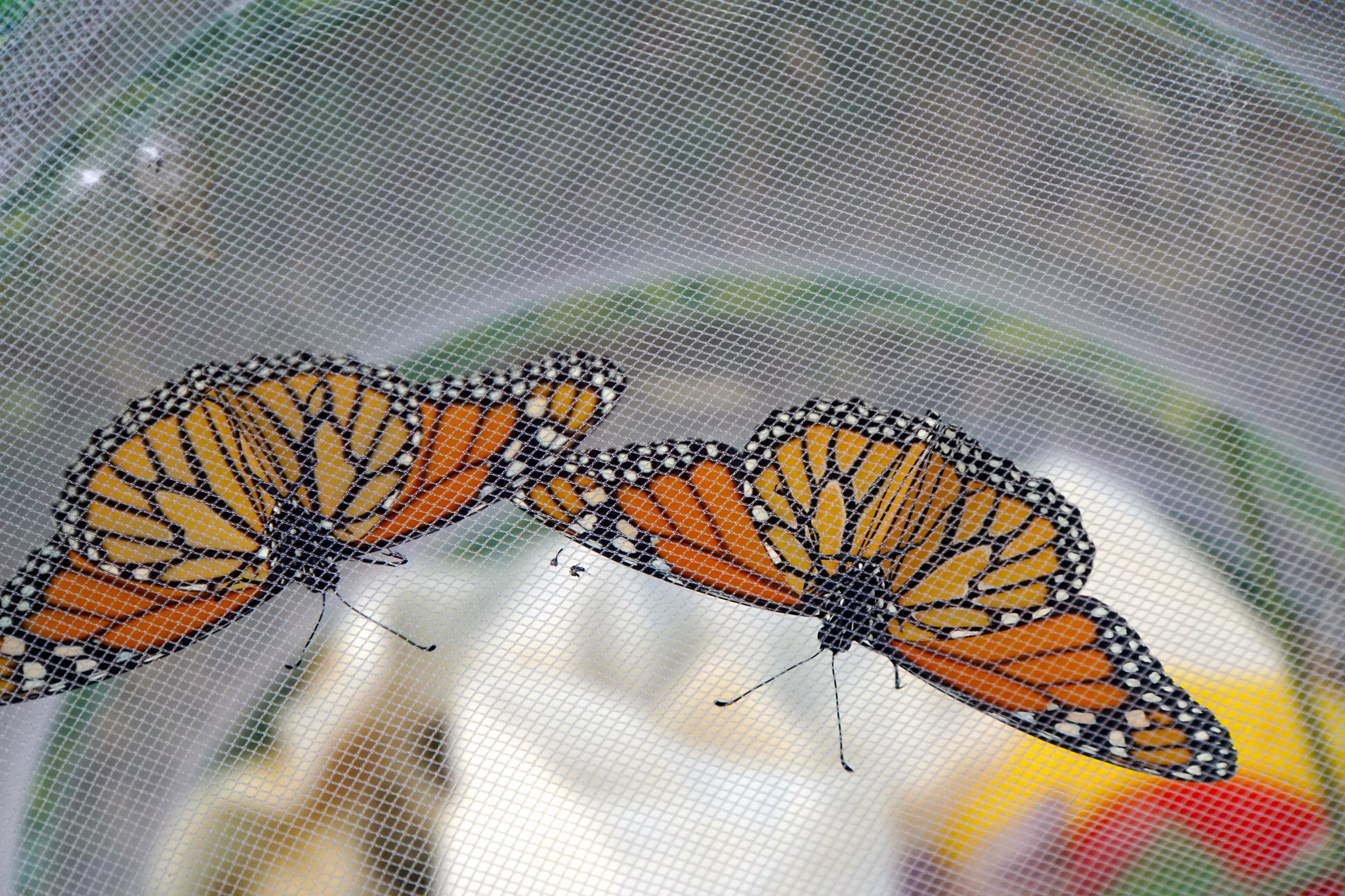 Aren't the monarchs beautiful? Photo: Marguerite Tonjes