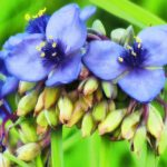 (3/5) ... common spiderwort ... nature, prairie, plant, flower, common spiderwort Photo: Amy Scroggins