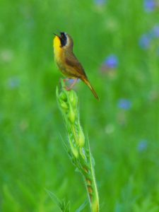 The common yellowthroat is a common migrant and summer breeder in grassy areas, scrub-shrub fields and marshes throughout the lab site. nature, wildlife, animal, bird, common yellowthroat Photo: Amy Scroggins