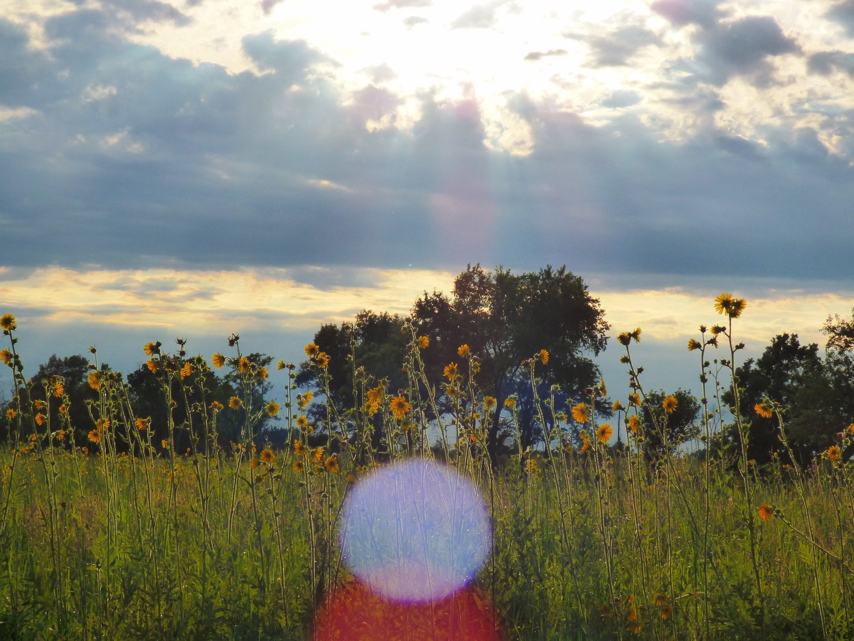 (5/5) ... under the sun. nature, prairie, plant, flower, compass plant Photo: Amy Scroggins