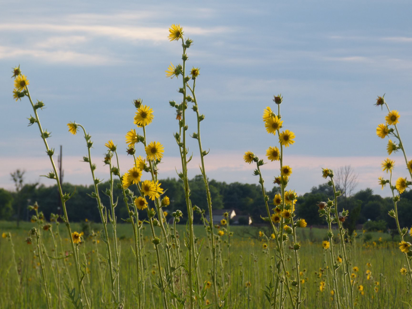 (4/5) ... and compass plants ... nature, prairie, plant, flower, compass plant Photo: Amy Scroggins