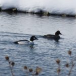 Common goldeneye ducks enjoy the pond in January 2018. nature, wildlife, bird, duck, common goldeney, water, snow, winter Photo: Barb Kristen