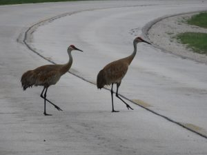 (2/2) Here they are, spotted crossing the street on a hot July day. nature, wildlife, animal, bird, sandhill crane Photo: Barb Kristen,