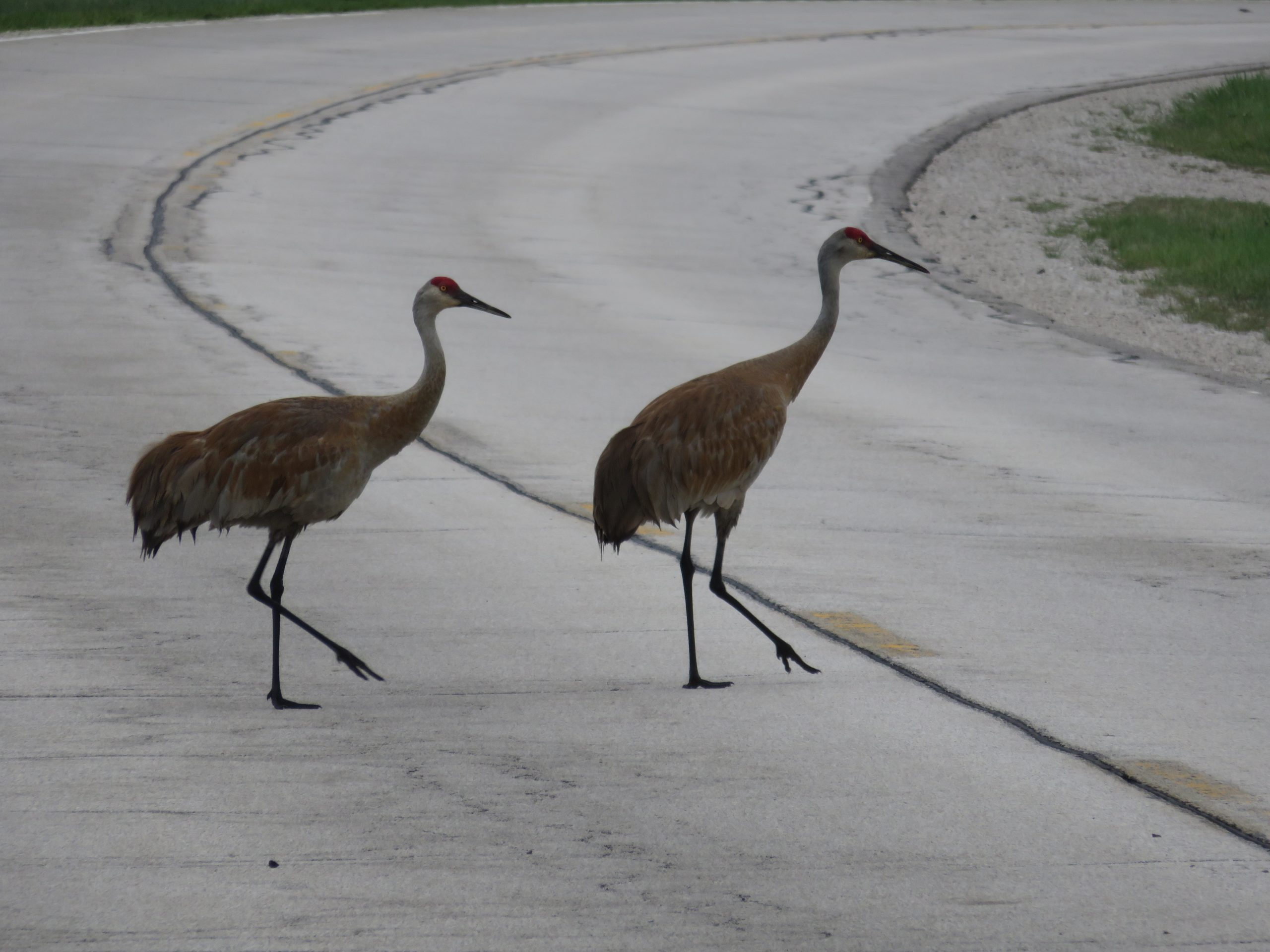 (2/2) Here they are, spotted crossing the street on a hot July day. Photo: Barb Kristen, nature, wildlife, animal, bird, sandhill crane