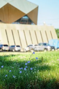 (1/2) You see these wildflowers going everywhere, even through cracks in the pavement. nature, plant, flower, bachelor buttons, building Photo: Leticia Shaddix