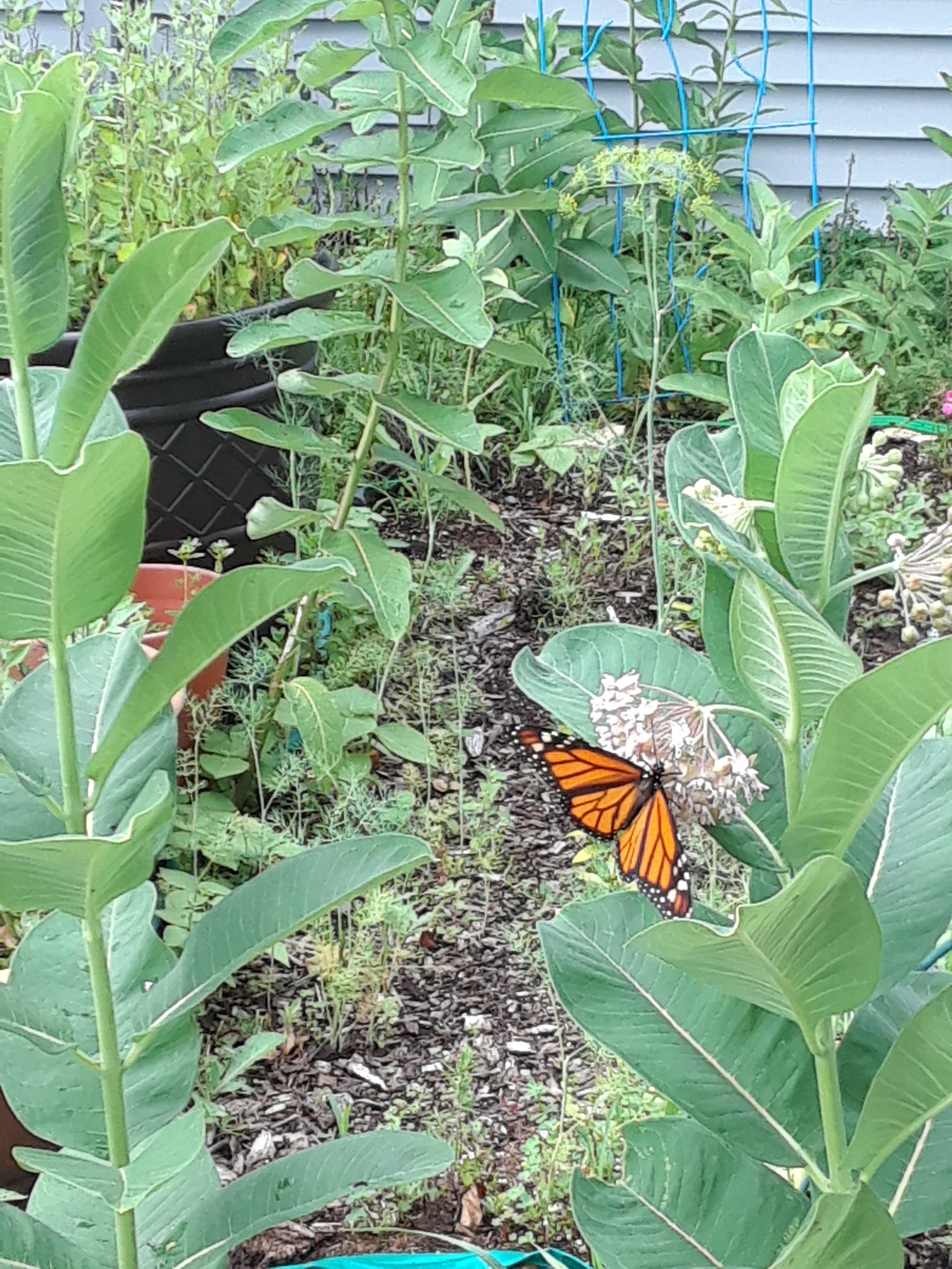 Flashback Friday: At the Playgroup garden, a monarch butterfly pollinates milkweed. nature, wildlife, animal, insect, butterfly, monarch butterfly, plant, milkweed Photo: Luciano Elementi