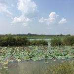 The cooling ponds and Main Ring Lake are packed with American lotus. This picture, taken on Aug. 19, points toward Wilson Hall from D1 on Main Ring Road. nature, landscape, sky, plant, American lotus, water, pond, Wilson Hall, building Photo: Matt Crawford