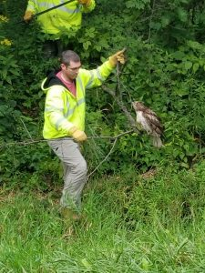 (1/3) On Aug. 24, Jon Ylinen and Katie Swanson were driving from Site 38 to Wilson Hall when they found a hawk sitting on the side of the road. The hawk wasn't moving, so Ylinen parked, got out of the truck and walked toward it. The hawk hopped into the brush, so he called Roads and Grounds. Here, Jason van Hartman coaxes the hawk out of the brush. nature, animal, bird, hawk, red-tailed hawk, people, wildlife Photo: Jon Ylinen
