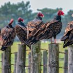 Turkey vultures perch on fence posts near the bison pasture. wildlife, nature, animal, bird, turkey vulture Photo: Timothy Chapman