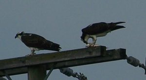 (1/2) Osprey have a bit of a snack atop a power pole at the Main Injector on Aug. 27. nature, wildlife, animal, bird, osprey Photo: Ed Dijak