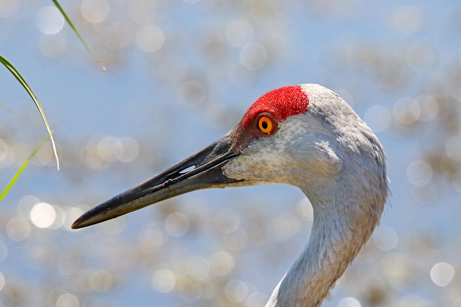 Local photographer Gordon Garcia captured this shot of a sandhill crane along Batavia Road inside the east entrance of the lab. nature, wildlife, animal, bird, sandhill crane Photo: Gordon Garcia