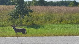 A coyote pup looking for an evening snack along Road B. nature, wildlife, animal, mammal, coyote Photo: Jonny Staffa