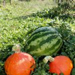(1/2) Grow food! It tastes better and is better for you. See how good this red kuri squash and watermelon look. nature, plant, garden, watermelon, squash Photo: Georgia Schwender