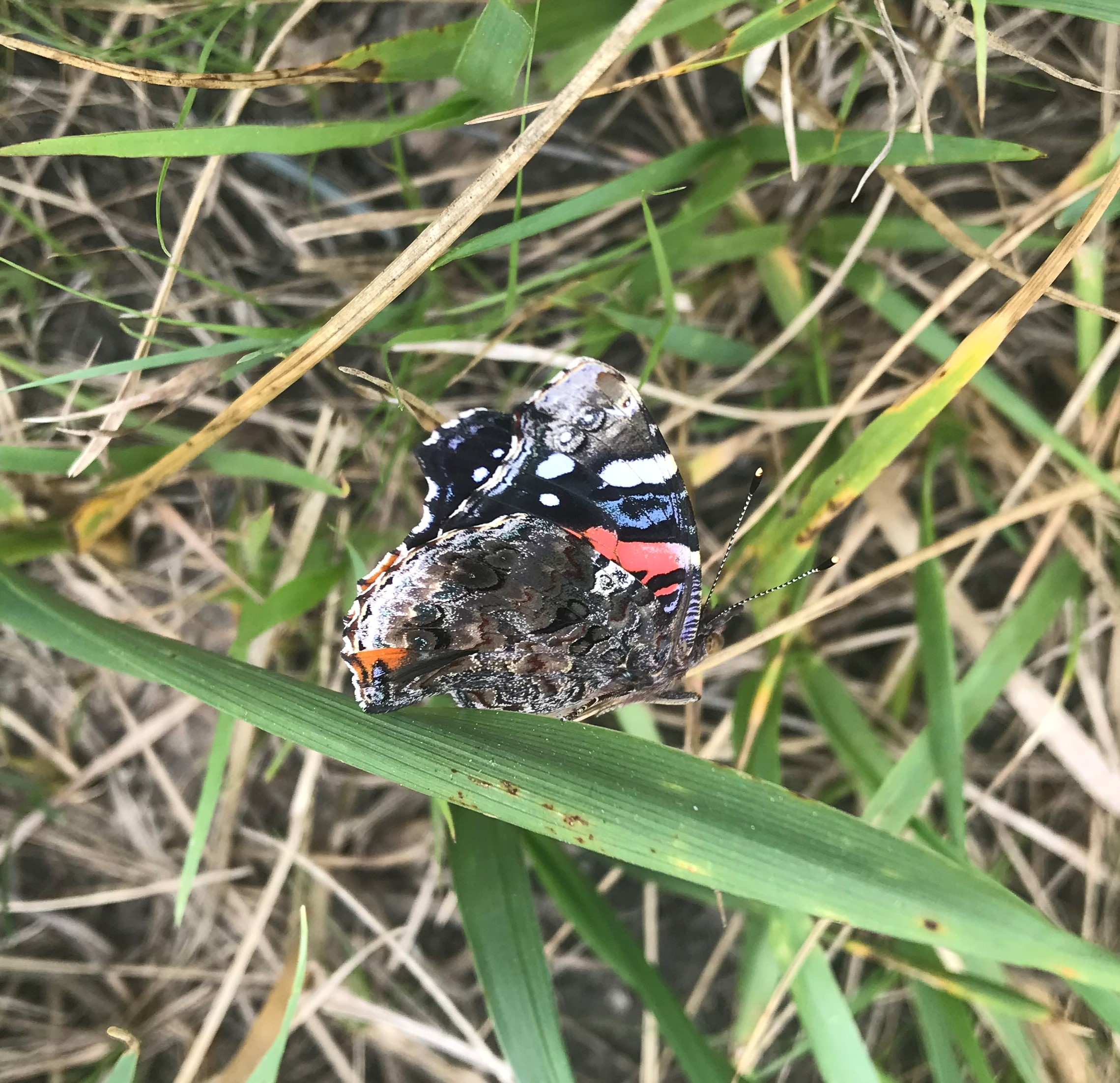 This red admiral butterfly, <em>Vanessa atalanta</em>, was spotted on Wilson Road. nature, wildlife, animal, insect, butterfly, red admiral butterfly Photo: Kerry Aschenbach