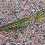 This praying mantis was seen on Sept. 18 at the entrance of Wilson Hall. It was swaying, as if to disguise itself as a leaf in the wind, but that didn't work too well in this setting. nature, wildlife, animal, insect, praying mantis Photo: Pete Cholewinski