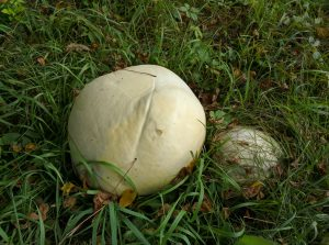 (1/2) The Fermilab site continually surprises with its wonders of nature, this time with huge mushrooms. One, two and maybe more: These are Calvatia gigantea, commonly known as giant puffballs. Mushrooms tend to grow in groups. nature, plant, fungus, mushroom, giant puffball Photo: Aleksandr Romanov