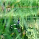 (1/2) A cormorant watches the water at Swan Lake on Aug. 16. nature, wildlife, animal, bird, cormorant, grass, pond, water Photo: Marguerite Tonjes