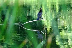 (2/2) The bird notices the photographer, insufficiently hidden by the grasses near the edge of the water. nature, wildlife, animal, bird, cormorant, grass, pond, water Photo: Marguerite Tonjes