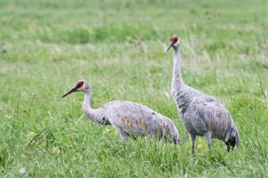The new pair of sandhill cranes — one long-time resident, one newly welcome to the site — seem to be hitting it off. This picture was taken on the morning of Sept. 30 along Eola Road, north of Batavia Road. nature, wildlife, animal, bird, sandhill crane Photo: Bridget Iverson