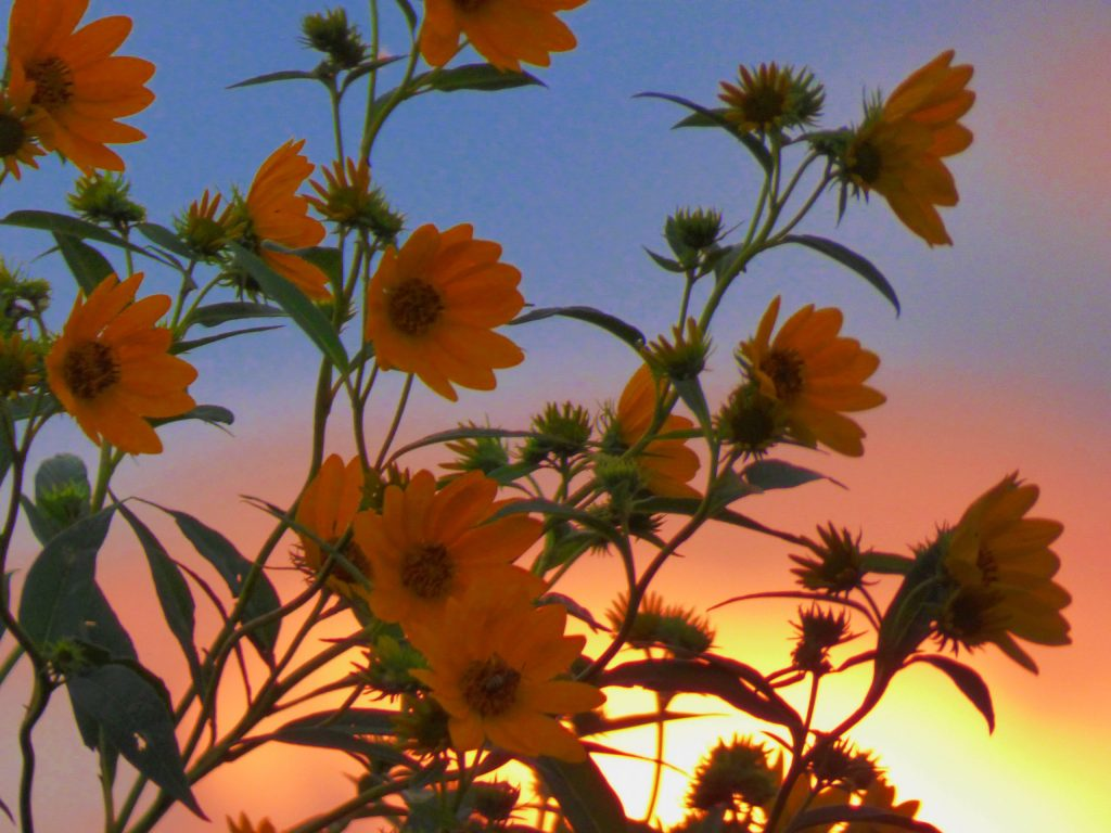 This picture of compass plants was taken on Sept. 1. nature, wildlife, plant, flower, compass plant, sky, summer Photo: Amy Scroggins