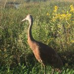 Fermilab welcomed a new sandhill crane to the site on Saturday. Photo: Dave Shemanske