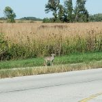 September 27th I saw a Coyote near the main entrance by the security station up front. Attached are 5 pictures. Hopefully one will be able to be used in the Fermilab Today news on the website. Thank you!
