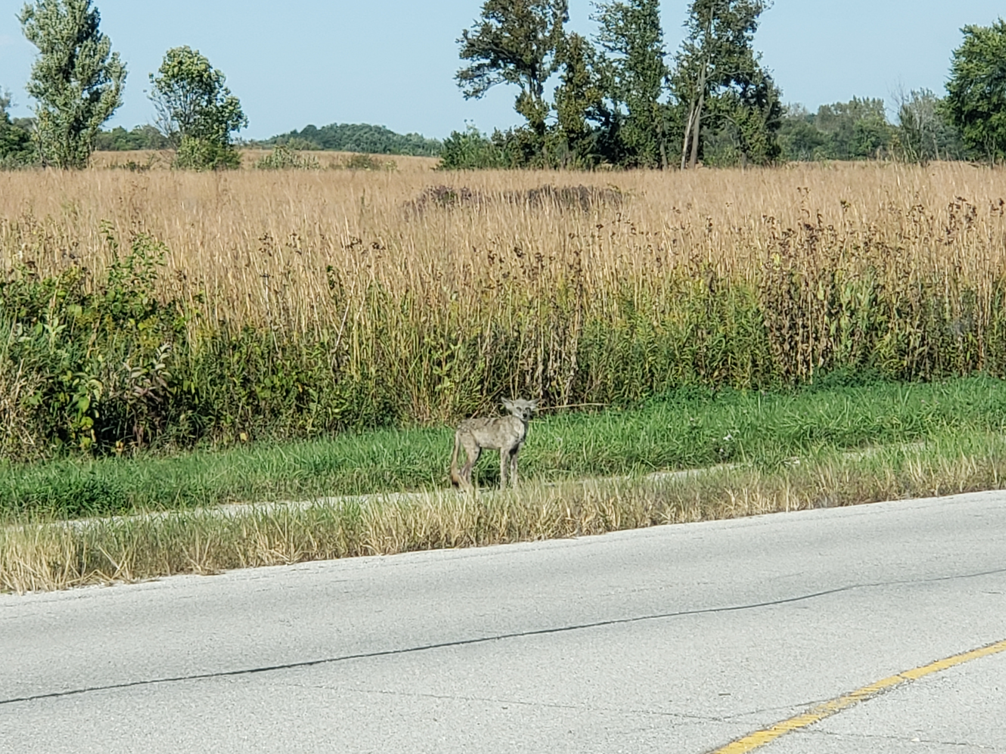 The photographer saw this coyote near the main entrance by the security station on Sept. 27. nature, wildlife, animal, mammal, coyote Photo: Jessica Ryan
