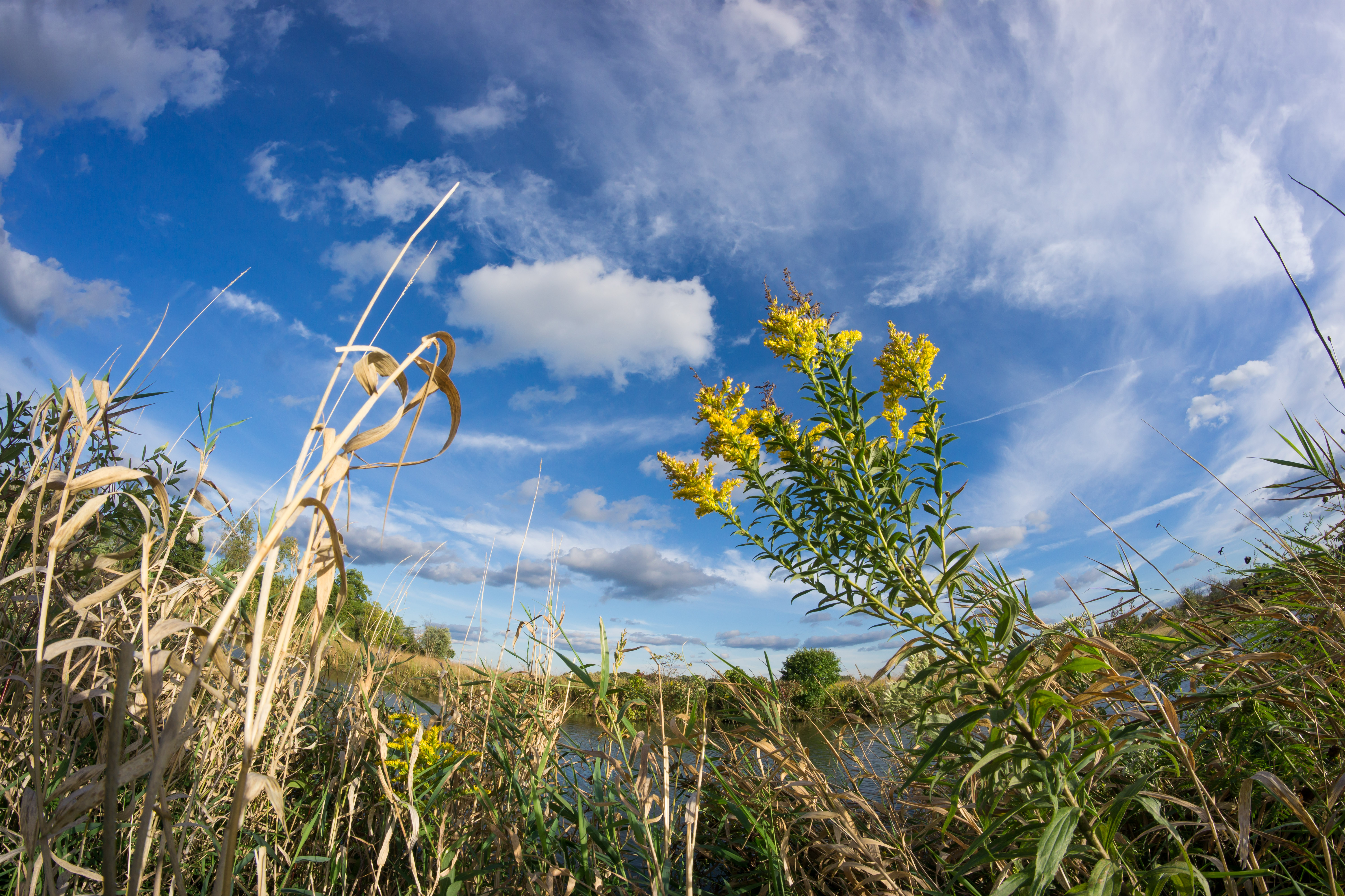 Goldenrod grows against a sharp blue sky at AZero, along the Main Ring Road. nature, prairie, autumn, plant, flower, goldenrod, sky, cloud Photo: Elliott McCrory