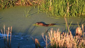 Some beavers are building their lodges in the pond behind Lab 8. If you're lucky and discreet you may see them! nature, wildlife, animal, mammal, beaver Photo: Adrien Hourlier