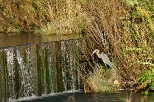 (1/3) Walking on Main Ring Road on a lovely fall day, the photographer saw several birds. A great blue heron sits by the waterfall. nature, wildlife, animal, bird, great blue heron, heron Photo: Marguerite Tonjes nature, wildlife, animal, bird, great blue heron, heron Photo: Marguerite Tonjes