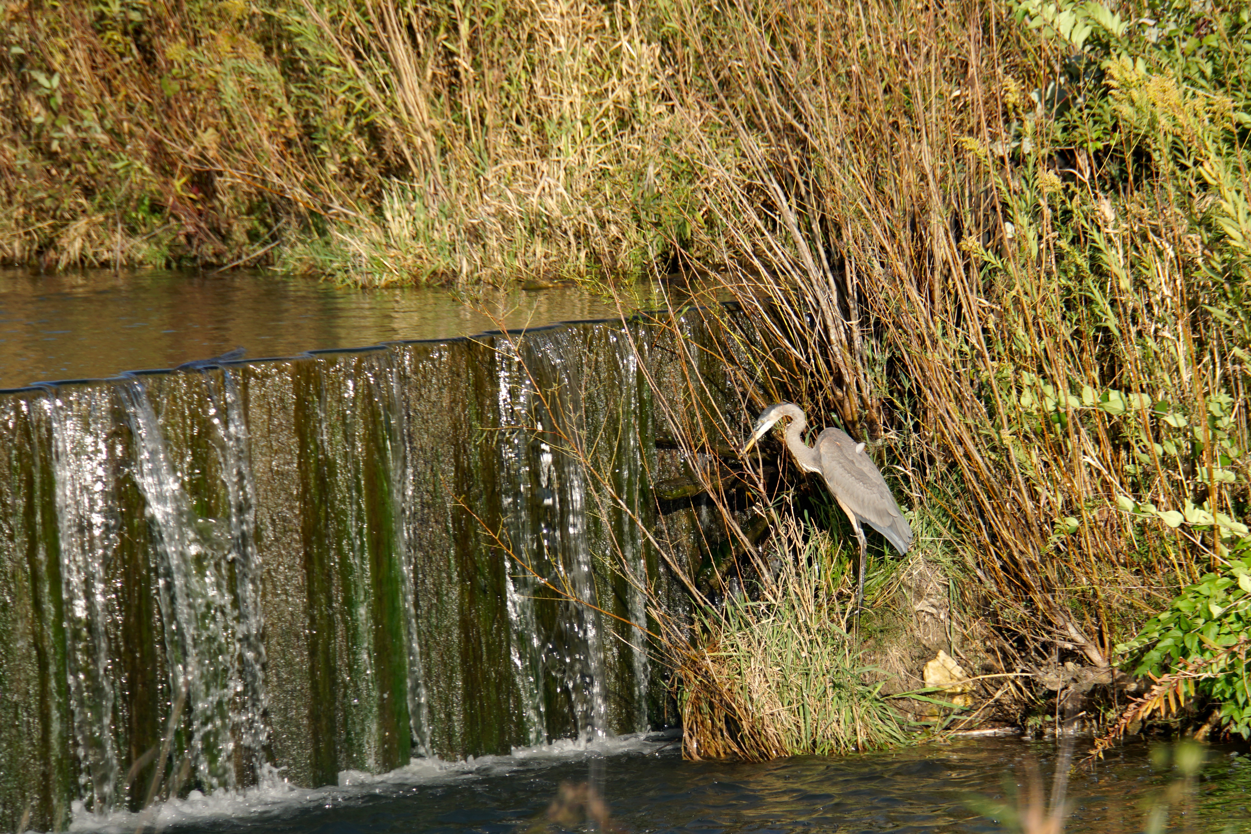 (1/3) Walking on Main Ring Road on a lovely fall day, the photographer saw several birds. A great blue heron sits by the waterfall. nature, wildlife, animal, bird, great blue heron, heron Photo: Marguerite Tonjes