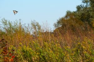 (3/3) A northern rough-winged swallow flies over the Main Ring. nature, wildlife, animal, bird, northern rough-winged swallow, swallow Photo: Marguerite Tonjes