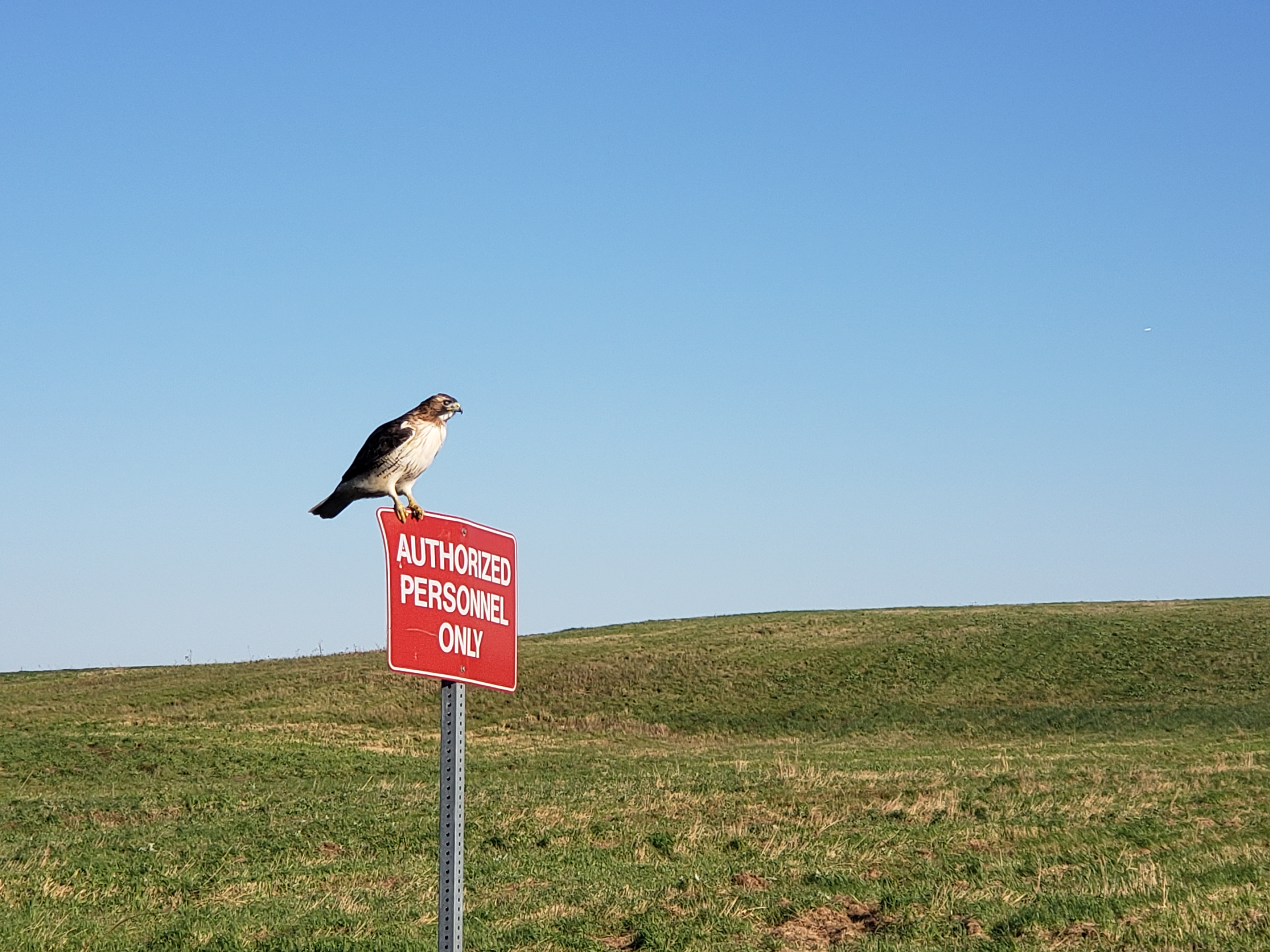 The IOTA/FAST guard hawk stands at the ready outside NML. nature, wildlife, animal, bird, hawk, landscape Photo: Jonathan Jarvis